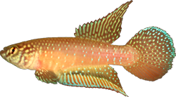 00-0-Copr_2014_Costa-Holotype_UFRJ_8888t.png