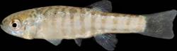 00-0-Copr_2016-Teimori-Holotype-ZM_CBSU_225t.png