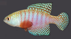 00-0-Copr_2018-WEJM_Costa-Holotype-UFRJ_6893t.jpg