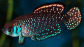 fwkillifish1357401604t.jpg
