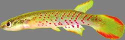 0-0-Copr_2007-W_Costa-holotype-UFRJ_6474t.png