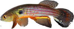 00-1-Copr_2015-WEJM_Costa-Holotype_UFRJ_10083st.png