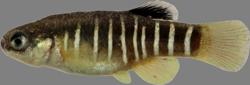 00-0-Copr-2013-Zeinab_Gholamiz_Holotype_ZMCBSU_ZG151t.png
